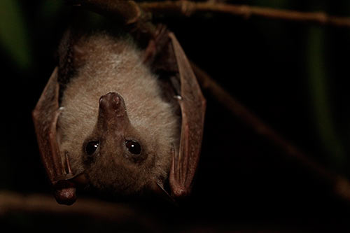Bare-backed-bat